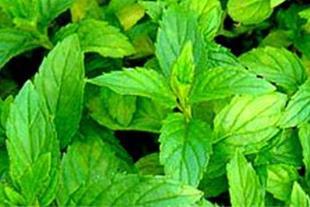 پیش فروش انواع نشاء گیاهان دارویی