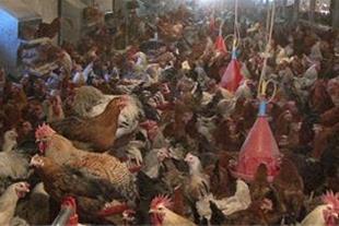 فروش مرغ بومی آماده تخم گذاری-نیمچه و جوجه یک روزه