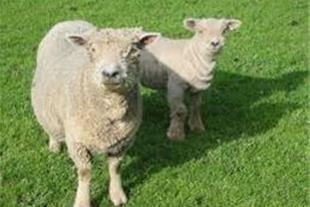 طرح توجیهی پرورش گوسفند 400 راسی  داشتی