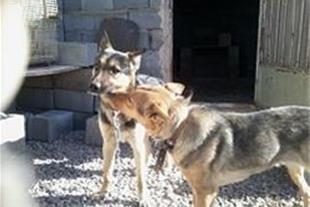 یک جفت سگ ژرمن شپرد به فروش میرسد