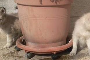 فروش توله سگ سیبرین هاسکی