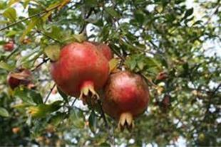 فروش باغ انارشیرین 3 هکتاری دربهترین منطقه شمال