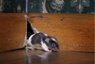 چسب موش ـ تله موش