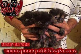 فروش بچه گربه پرشین کت مشکی و تورتوایس