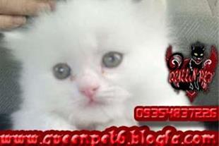 فروش دو عدد بچه گربه پرشین صورت عروسکی ماده