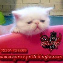 فروش بچه گربه پرشین سفید فلت