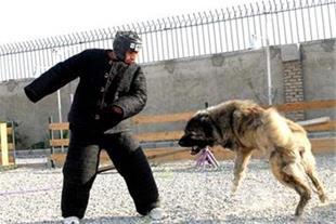 فروش تعدادی سگ ژرمن شپهرد و قفقازی آموزش دیده