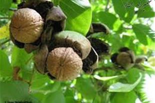 باغ میوه باخانه باغ واستخروآلاچیق درجاده فیروزکوه
