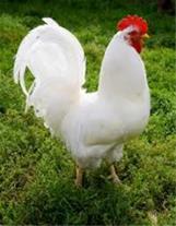 فروش مرغ کشتار روز-بوقلمون-اردک-بلدرچین