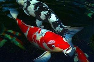 فروش  عمده ماهی کوی (koi fish)