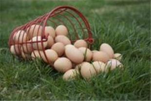 فروش تخم مرغ محلی و بومی