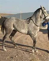 اسب کرد فروشی- بهمن غیاثوند