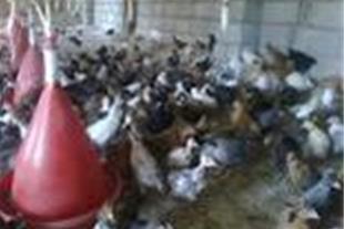 فروش تخم مرغ خوراکی