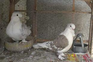 فروش کبوتر کله قوچی