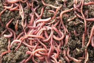 خرید و فروش کرم خاکی -  پرورش کرم خاکی - 1