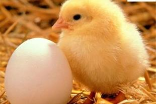 فروش تخم نطفه دار و تخم خوراکی - جوجه غاز حسینی