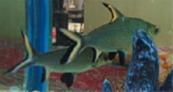 ماهی سیلور شارک - 1
