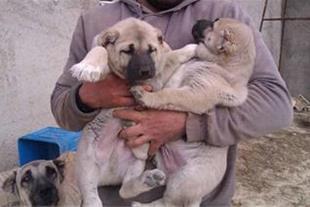 فروش سگ نگهبان و گارد