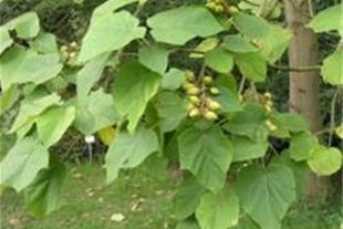 نهال پالونیا گلدانی