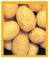 فروش سیب زمینی بذری