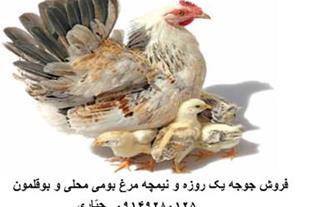 فروش جوجه و نیمچه مرغ بومی محلی-جهادی - 1