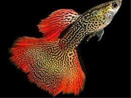 ماهی گوپی - 1