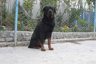 خرید و فروش انواع نژادهای سگ در مجموعه ای بینظیر - 1