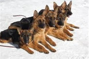 واردات خرید و فروش سگهای اصیل