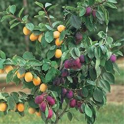درخت چند نوع میوه