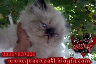 فروش دو عدد بچه گربه پرشین هیمالین سوپر فلت نر