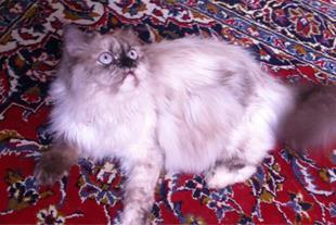 گربه میکس هیمالین و کلاسیک
