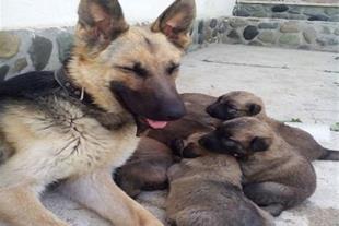 توله سگ های درشت جثه و استثنائی