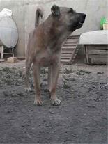 فروش سگهای جنگی