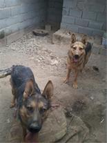 فروش یک جفت سگ ژرمن کینگ