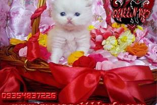 فروش بچه گربه پرشین سفید نر