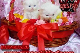 تعدادی بچه گربه پرشین سفید به فروش میرسند