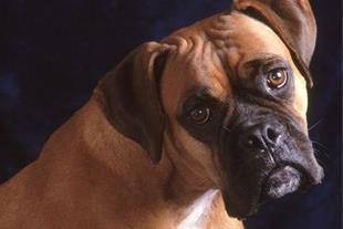 فروش سگ باکسر نر نخودی