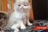 فروش  دو بچه گربه پرشین ماده