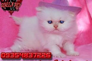 خرید و فروش گربه پرشین