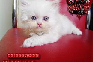 فروش یک عدد بچه گربه پرشین صورت عروسکی سفید