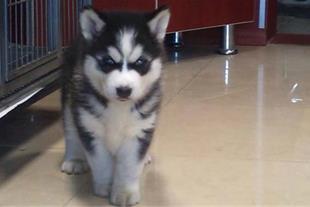 سگ هاسکی (husky)