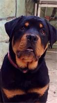 سگ روتوایلر (Rottweiler)