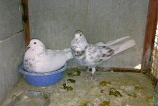 کبوتر سامان