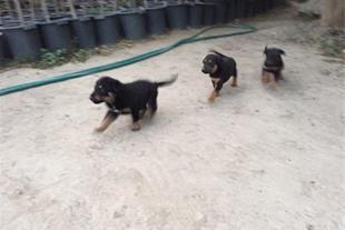 فروش سگ دوبرمن و ژرمن  سالم و پرانرژی و باهوش چهار