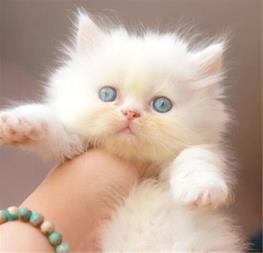 پرشین کت نر سفید چشم آبی توپولو - گربه