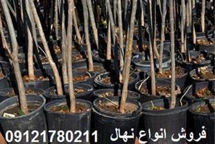 فروش نهال درختان سایز بزرگ ، نهال مثمر و غیر مثمر - 1