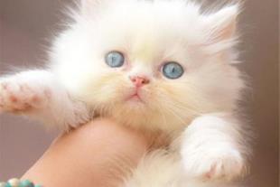 پرشین کت نر سفید چشم آبی توپولو