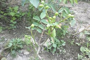 نهال میوه مقاوم به کم ابی و خشکی