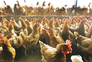 توزیع مستقیم کود مرغی