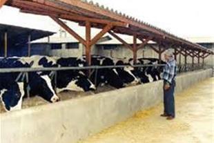 فروش گاوداری شیری فعال در نظرآباد البرز
